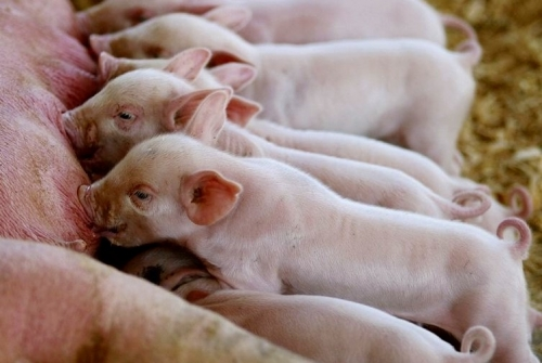 As Useless as Teats on a Boar – Selecting for Teat Numbers in Swine