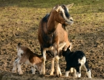 Supernumerary Teats in Cattle and Goats